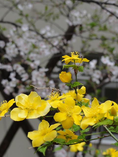 神田明神の桜 (2015/3/31 ~ 4/2)_b0006870_19372281.jpg