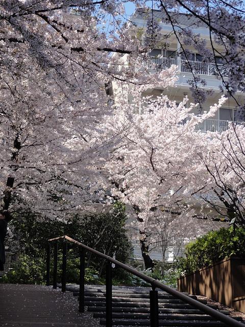神田明神の桜 (2015/3/31 ~ 4/2)_b0006870_19375873.jpg