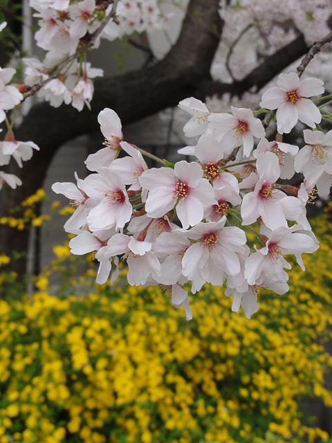 神田明神の桜 (2015/3/31 ~ 4/2)_b0006870_1937768.jpg