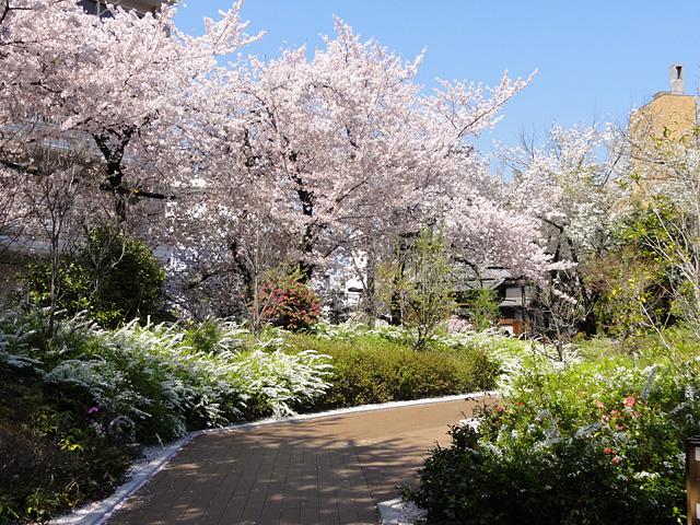 神田明神の桜 (2015/3/31 ~ 4/2)_b0006870_19381822.jpg