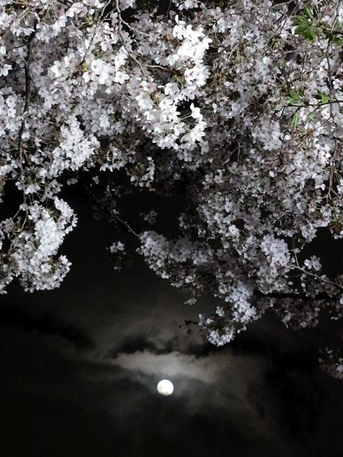 神田明神の桜 (2015/3/31 ~ 4/2)_b0006870_19383763.jpg