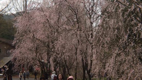 世羅・甲山ふれあいの里・しだれ桜_b0214473_13112387.jpg