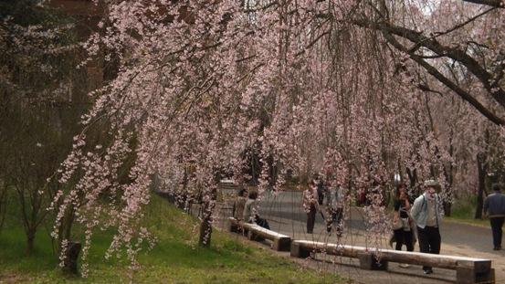 世羅・甲山ふれあいの里・しだれ桜_b0214473_13113643.jpg