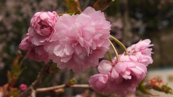 世羅・甲山ふれあいの里・しだれ桜_b0214473_13121983.jpg
