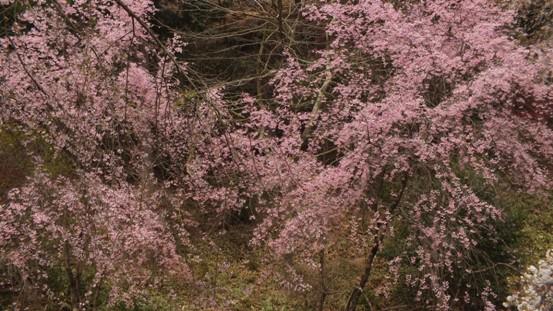 世羅・甲山ふれあいの里・しだれ桜_b0214473_13123872.jpg