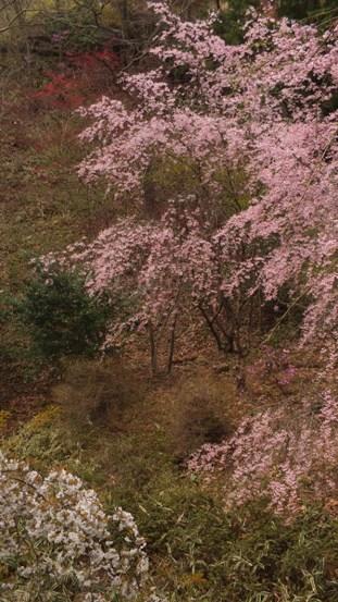 世羅・甲山ふれあいの里・しだれ桜_b0214473_131275.jpg