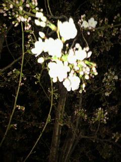 夜桜_c0015706_916810.jpg