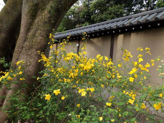 ヤマブキとシャガの揃い咲き 京都御苑_e0048413_17573041.jpg