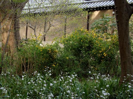 ヤマブキとシャガの揃い咲き 京都御苑_e0048413_1758013.jpg
