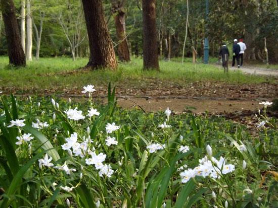 ヤマブキとシャガの揃い咲き 京都御苑_e0048413_17581365.jpg