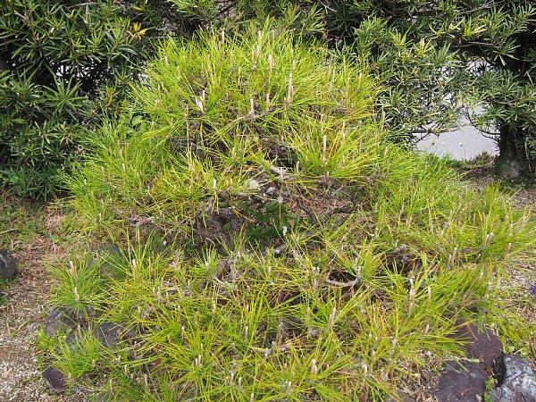 2015年4月23日 松の木の緑摘み_b0341140_18422751.jpg