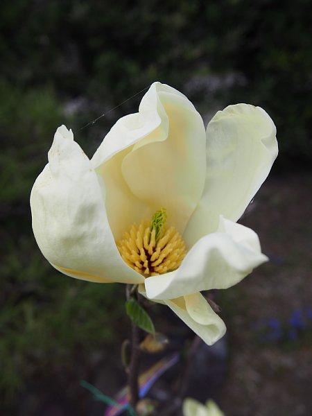 2015年4月24日 木蓮の花が咲きました_b0341140_19221236.jpg