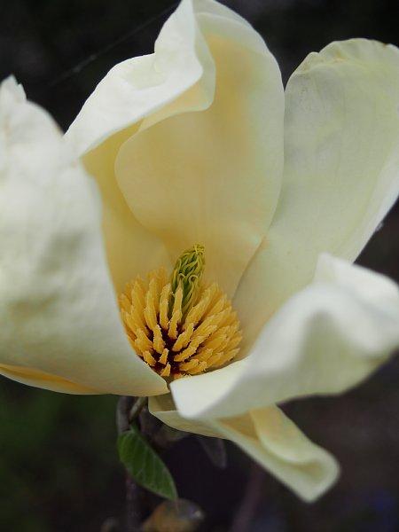 2015年4月24日 木蓮の花が咲きました_b0341140_19222175.jpg