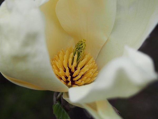 2015年4月24日 木蓮の花が咲きました_b0341140_19223096.jpg