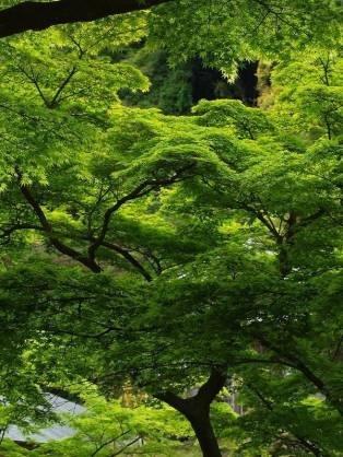 """みどりの日に""""お箏の演奏会""""です。_b0299052_20161008.jpg"""