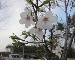 山麓は桜前線通過中。_d0050155_954136.jpg