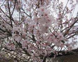 山麓は桜前線通過中。_d0050155_9543798.jpg