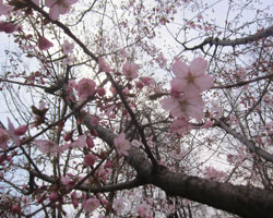 山麓は桜前線通過中。_d0050155_9544582.jpg