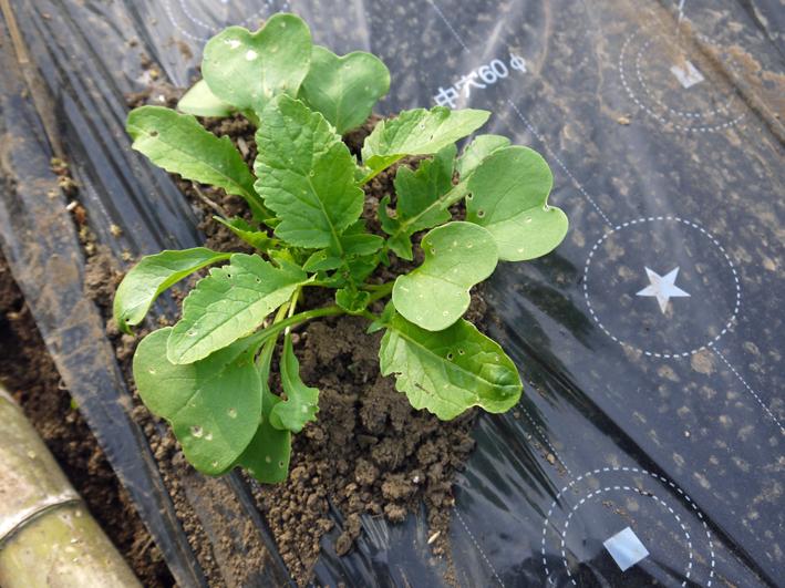 トマトなど夏野菜植え、アオクビダイコン間引く4・17~18_c0014967_12125332.jpg