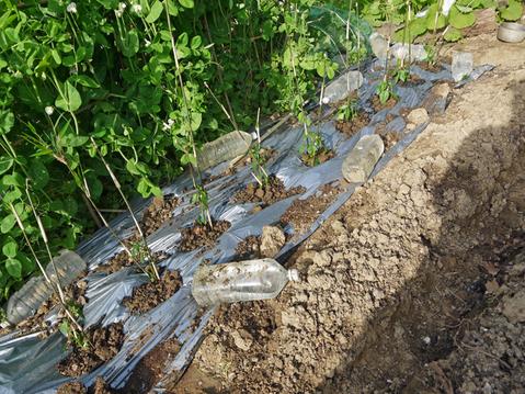 トマトなど夏野菜植え、アオクビダイコン間引く4・17~18_c0014967_1212995.jpg
