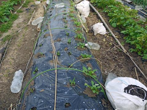 トマトなど夏野菜植え、アオクビダイコン間引く4・17~18_c0014967_12133330.jpg
