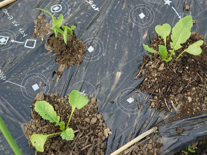 トマトなど夏野菜植え、アオクビダイコン間引く4・17~18_c0014967_1214188.jpg