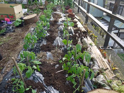 トマトなど夏野菜植え、アオクビダイコン間引く4・17~18_c0014967_1282123.jpg