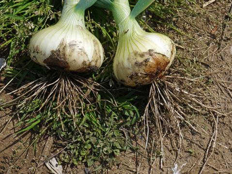 早生タマネギ、フキ、スナップエンドウ収穫(4・18)_c0014967_9531043.jpg