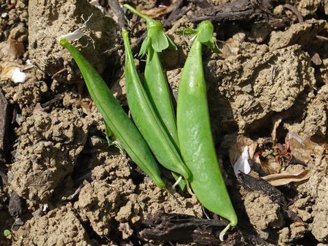 早生タマネギ、フキ、スナップエンドウ収穫(4・18)_c0014967_9564966.jpg