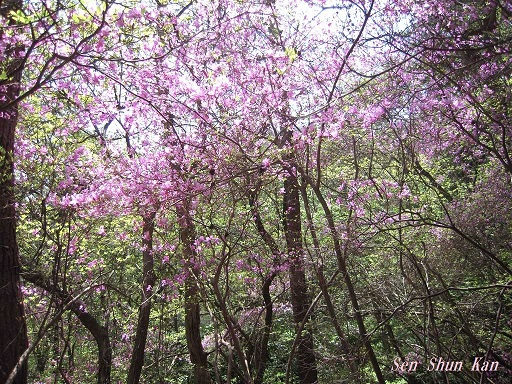 山つつじ(ミツバツツジ)  2015年4月18日_a0164068_232341.jpg