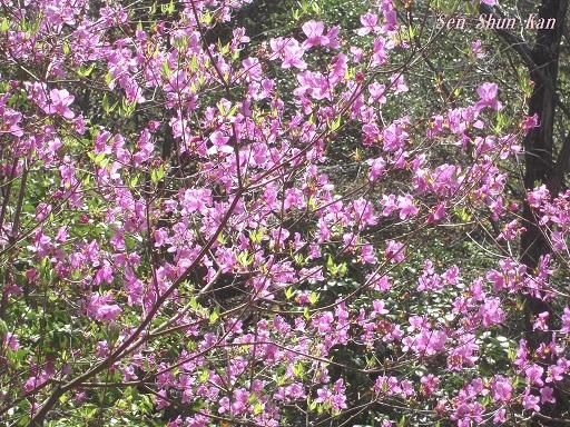 山つつじ(ミツバツツジ)  2015年4月18日_a0164068_233966.jpg