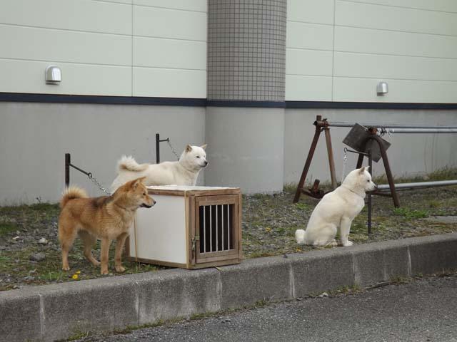 北海道犬の展覧会を見に山形県へ_f0019498_19322121.jpg