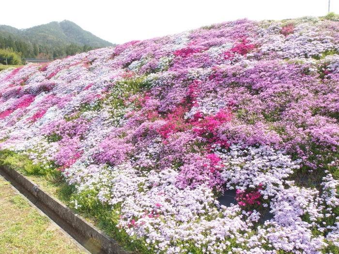 吉山の芝桜_c0116915_0103516.jpg