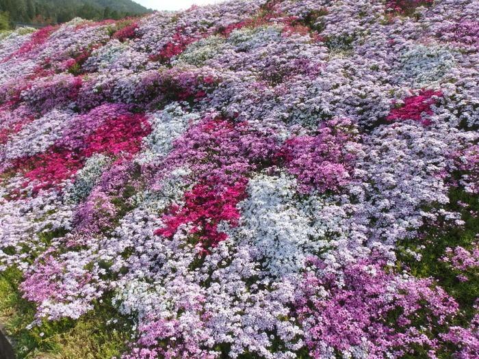 吉山の芝桜_c0116915_0104923.jpg