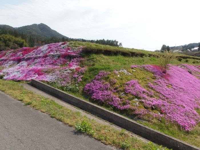 吉山の芝桜_c0116915_0112731.jpg