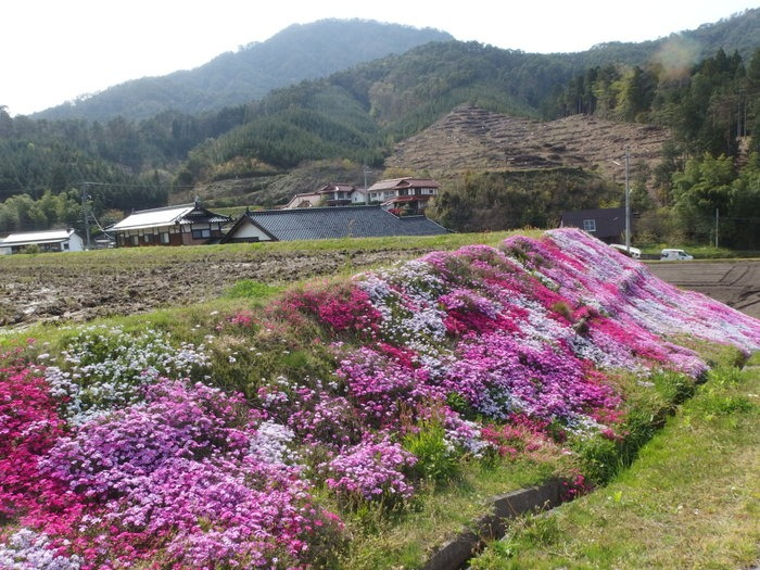 吉山の芝桜_c0116915_0114241.jpg