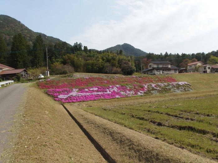 吉山の芝桜_c0116915_0115772.jpg