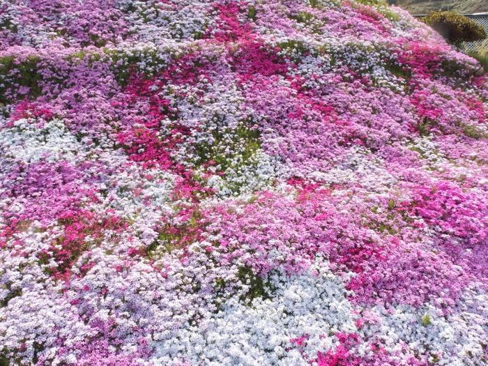 吉山の芝桜_c0116915_0121749.jpg