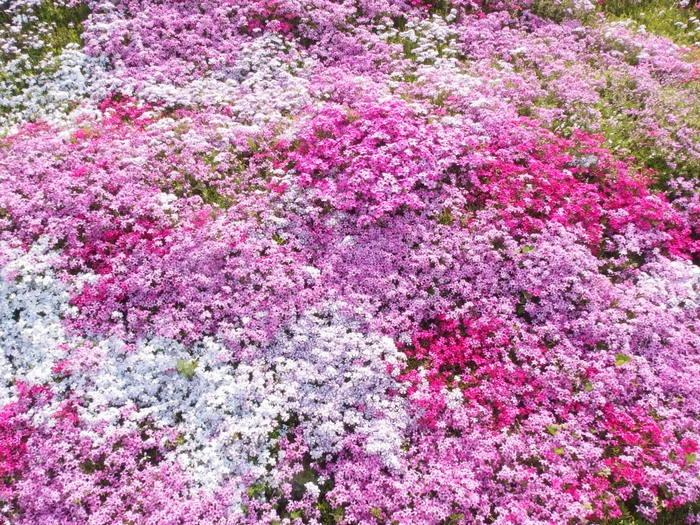 吉山の芝桜_c0116915_0123271.jpg