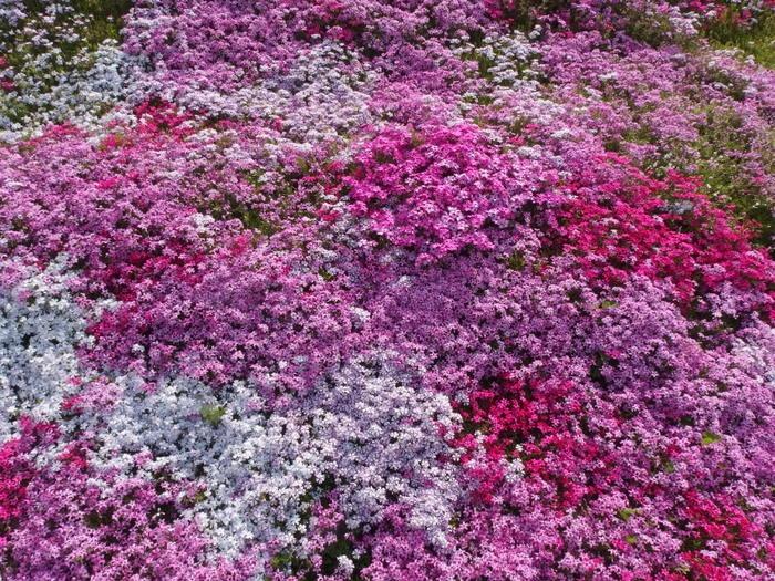 吉山の芝桜_c0116915_0124424.jpg