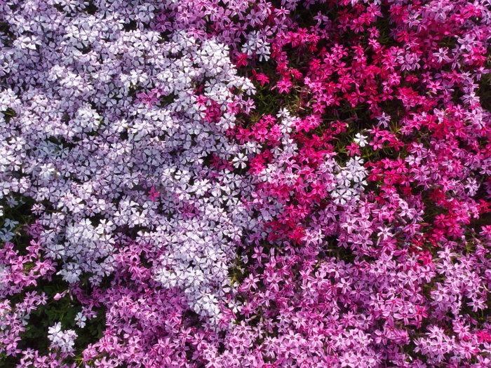 吉山の芝桜_c0116915_013135.jpg