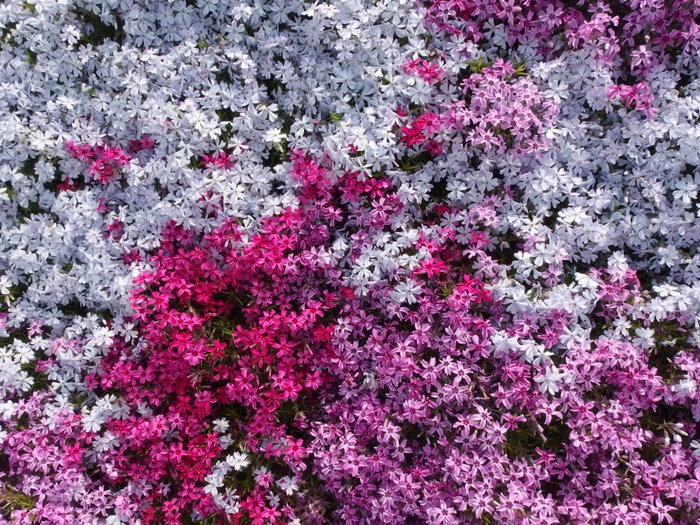 吉山の芝桜_c0116915_0131451.jpg