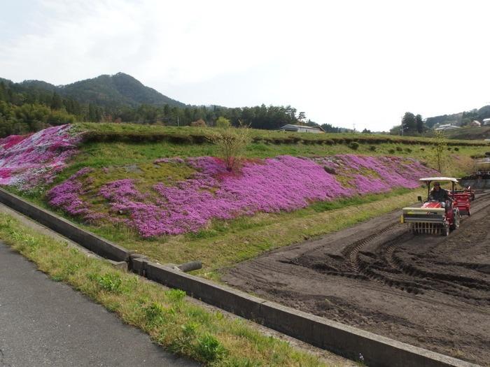 吉山の芝桜_c0116915_0133747.jpg