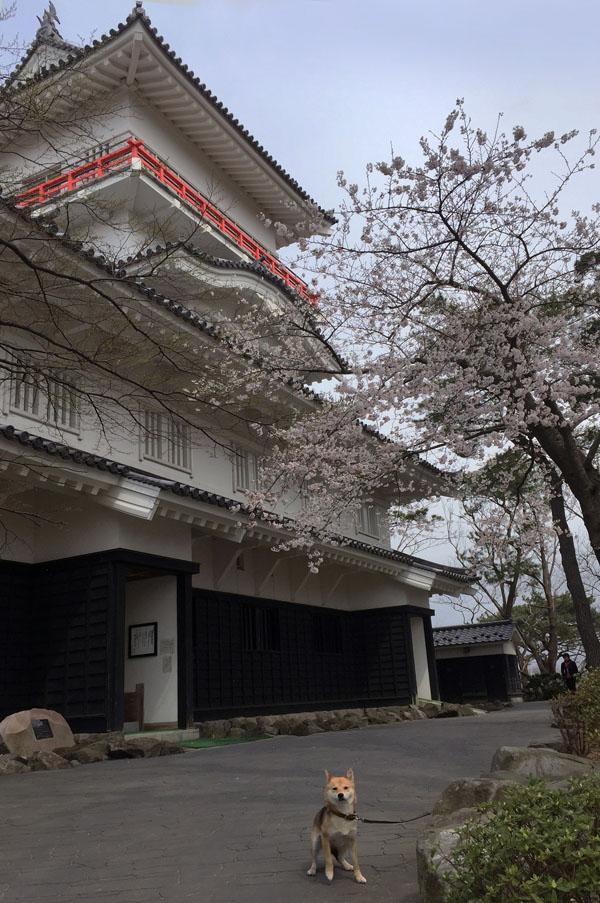 千秋公園で のんと観桜散歩_e0162117_17565635.jpg