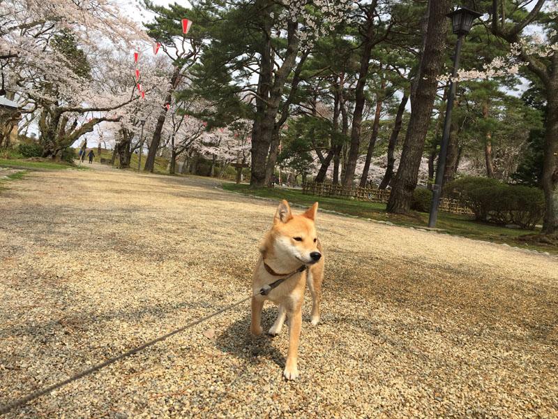 千秋公園で のんと観桜散歩_e0162117_17593428.jpg