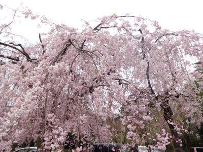 お花見最終日_f0170422_21183461.jpg