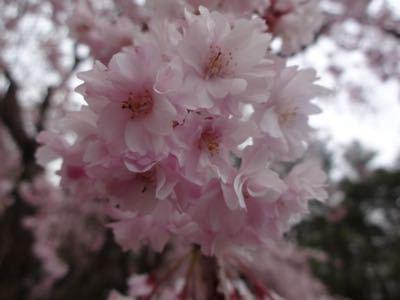 お花見最終日_f0170422_2118369.jpg