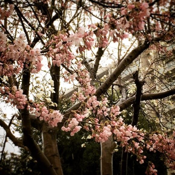 雨と桜と_a0292724_15171890.jpg