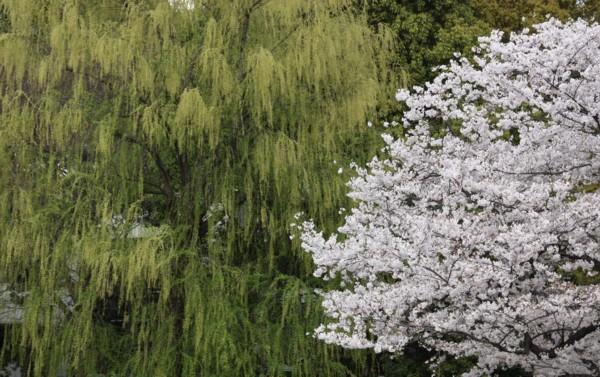 桜には新緑が良く似合う_f0055131_95411100.jpg