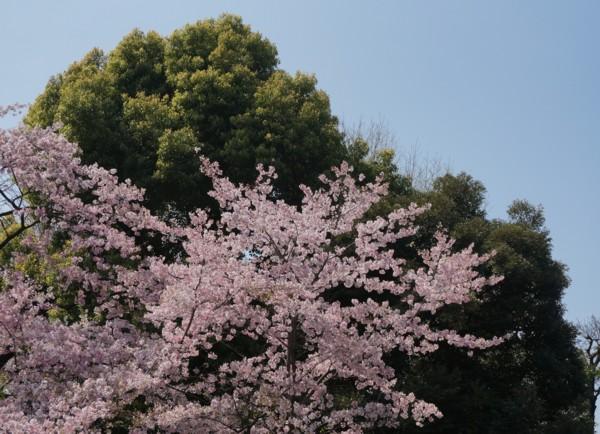 桜には新緑が良く似合う_f0055131_9541813.jpg
